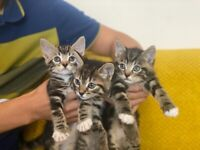 Tabby Bengal x kittens for sale.