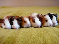 baby guinea pigs for sale, £ 10 each, lovely colours