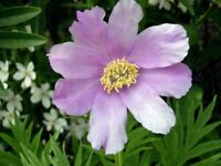 Water lily and perennial garden plants for sale