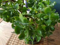 Large Jade, Money Plant, Friendship Tree, Crassula Ovata, green leaves, home decoration, houseplant