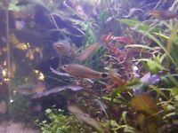 Silver flying fox, Crossocheilus reticulatus, algea eater, 5 fish or more, no more then 8