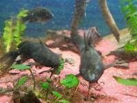 Tropical Catfish (Fish)