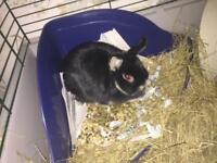 10month old English dwalf house rabbit with set up