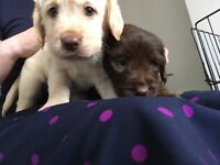 Beautiful labradoodle puppies,kc reg parents ONLY 2 LEFT
