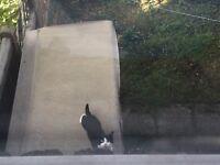 Has anyone seen simba?? Intact male black and white cat