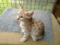nice bengal kitten