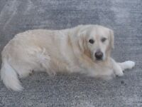 Male golden retriever for service (not for sale)
