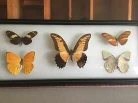 Beautiful Taxidermy Butterflies