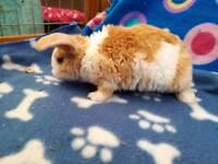 plush lop bany rabbits