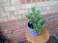 Several Lovely Hebe shrubs in a 19 cm purple pot