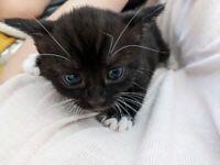 Black Kittens ( Tuxedo )