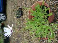 Perennial daisy plant