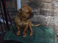 Olde English Bulldog Bitch - Dorset Olde Tyme Bulldog