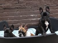 Beautiful KC Reg French bulldog puppies