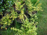 Lonicera Nitida `Baggesen's gold' shrub or boxleaf honeysuckle plant