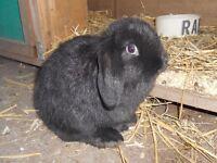 Pure Dwarf Lop Baby Rabbit For Sale.