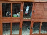 Male guinea pigs and hutch