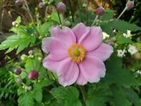 2 pink flowering plants. Japanese Anemone