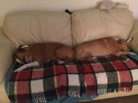 2 Older Staffies Need Foster Family for Temporary But Long-Term Placement - Please Help If You Can