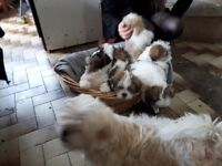 Shih Apso puppies. Lhasa Apso/Shih Tzu . Vaccinated and wormed. Child friendly.