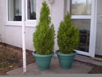 2 x Potted Conifers