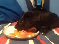 Adorable friendly male guineapig