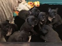 Blue French Bulldogs Puppies For Sale