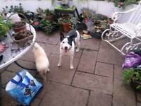 Half staff/collie dog forever home needed