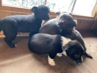 Three Quarter Chihuahua Cross Jack Russell Puppies
