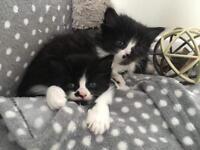 Persian Chinchilla kittens