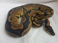 Royal ball python