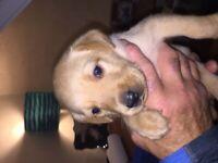 Beautiful pedigree KC registered Labrador puppies