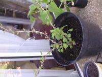 Gooseberry plant in large pot, Desert variety