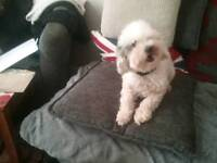 Poodle girl for sale ... toy poodle.