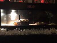 Bearded dragon + vivarium with food