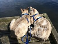 Sky/SnowBengal/distinctive mink marble patterned body/pale face/dark stripes on legs/tail/blue eyes