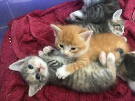 Kittens for sale - £200