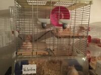 Hamsters for sale tan and white
