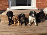 Cockapoo Puppies blue merle very rare colours