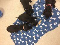 Lakeland patterdale terriers