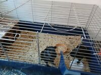 2 Guinea pigs with large cage