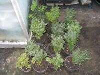 Buxus semervirens hedging plants