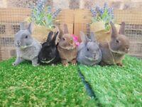 Pure mini rex rabbits
