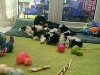 Maltshu x Lhasa apso puppies for sale