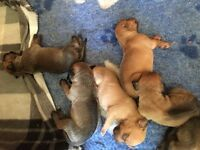 Pedigree Rhodesian Ridgeback Puppies