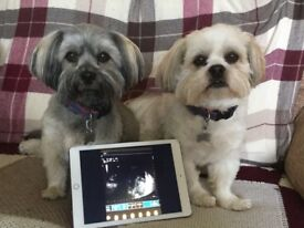 Lhasa Apso KC Registered puppies