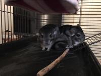 Chinchillas & cage for sale