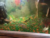 20 Rare Koi Fish Various Sizes An Colours