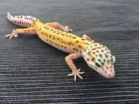 Young Leopard Gecko