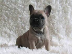 Beautiful Blue fawn french bulldog puppies 2 boys.